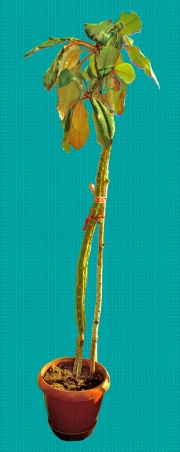 Молочай (Euphorbia leuconeura)   100 см.