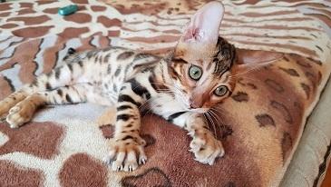 Купить бенгальского кота в Киеве.